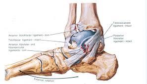 Anterior Fibular Ligament L42utvr5 Strolling Pleasantly Page 2