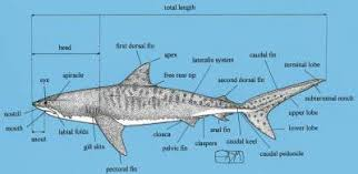 the pelagic shark research foundation in the news