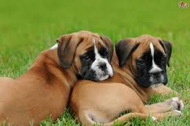 boxer dog mean how to buy a boxer dog puppy from a breeder pets4homes