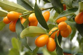 When Does A Lemon Tree Produce Fruit - kumquat tree info u2013 how to care for kumquat trees