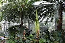 biggest corpse flower in u s botanic garden history begins to