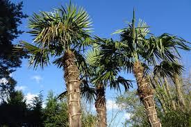 palmier du chili les palmiers en pleine terre le jardin de bures sur yvette