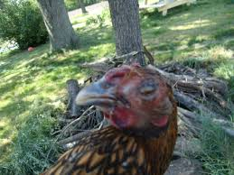 contagious respiratory disease warning graphic backyard chickens