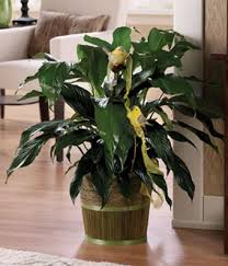 funeral plants peace plant at from you flowers