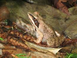 winter is coming how do frogs avoid freezing frogs are green