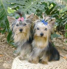 yorkie haircuts for a silky coat basic haircuts for yorkie terrier dogs cuteness