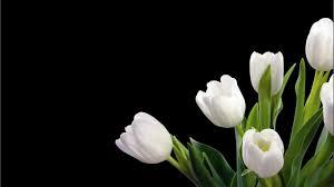wallpaper bunga tulip wallpaper bunga tulip putih bersih pesonadunia pinterest
