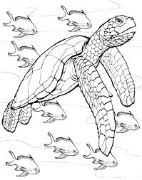 innovative sea turtle coloring free downl 8637 unknown