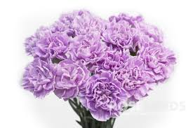 purple carnations wholesale assorted moon series purple carnations 2 colors