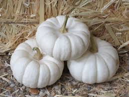 small pumpkins file cucurbita pepo small edible mini white pumpkins 9 11 jpg