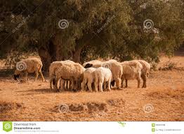 thar desert animals the sheep in thar desert stock photo image of jaisalmer 68461096