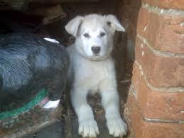belgian shepherd x malamute white german shepherd x alaskan malamute crewe cheshire