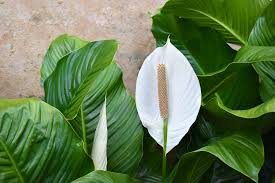 peace lily the tranquil peace lily plantscapers