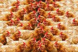 local company announces plans to build qatar u0027s largest poultry farm