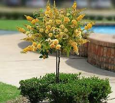 95 best dwarf trees nw enjoy the smaller things in life images on