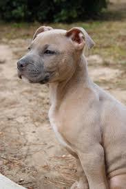 american pitbull terrier blue wallpapers hd download pit red and white american pitbull terrier