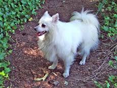 american eskimo dog washington state seattle purebred dog rescue