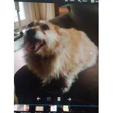 australian shepherd underbite lost dogs in mountain view ca lost my doggie