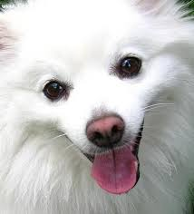 is a american eskimo dog right for me 10 best eskies images on pinterest american eskimo dog animals
