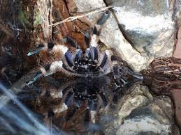 poecilotheria miranda bengal spotted ornamental as far a flickr