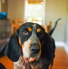 bluetick coonhound with cats coonhound breed information