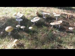 Mushrooms Growing In Backyard Family Eats Backyard Poisonous Mushrooms And Gets Violently Ill