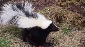 skunk digging in yard 2016 youtube