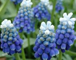 Hyacinth Flower Grape Hyacinth Etsy