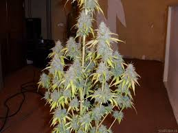 northern lights yield indoor auto northern lights by pyramid seeds seedfinder strain info