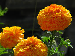 file india ladakh leh 086b garden flowers 3908935777 jpg