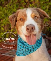 australian shepherd rescue san diego and friends chase border collie mix who was at aussie rescue san diego http