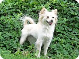 american eskimo dog short hair winnie adopted dog valparaiso in pomeranian american eskimo