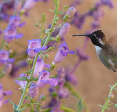 buy native plants online california native plants