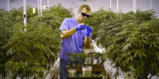 want a local job growing or selling medical marijuana