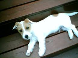 haircut ideas for long hair jack russell dogs facts about jacks all about jack russell terriers pethelpful