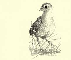 my life as a turkey sketches from the flatwoods nature pbs