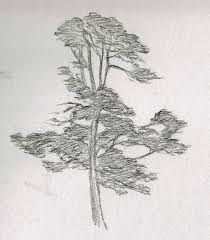 katherine kean fine art storm eucalyptus tree sketch