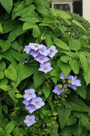 Blue Flower Vine - sky flower state by state gardening web articles