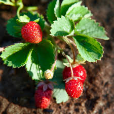 how to grow strawberries sunset