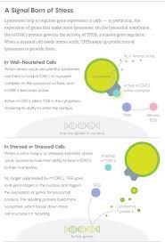 how lysosomes regulate genes quanta magazine