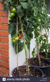 growing tomatoes in pots against a south facing wall in a town