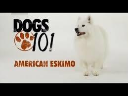 american eskimo dog ireland dogs 101 american eskimo eng youtube