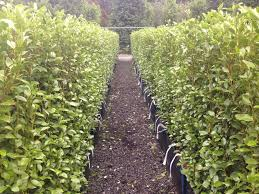 leighton green hedging cypress hello fastest growing hedges living fence backyard fence ideas