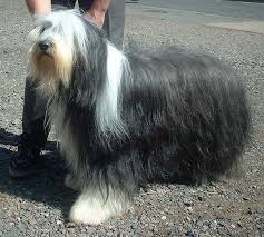 bearded collie and border collie mix bearded collie wikipedia