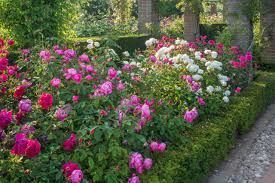 design a rose bed hgtv