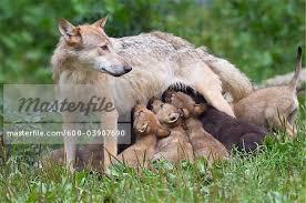 timber wolf nursing cubs bavaria germany stock photo