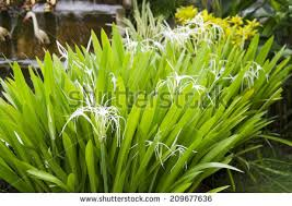 crinum lily cape lily poison bulb stock photo 209677636 shutterstock