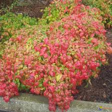 arbuste feuillage pourpre persistant arbuste feuille rouge dootdadoo com u003d idées de conception sont