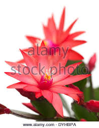 christmas cactus cutout stock photo royalty free image 10942941