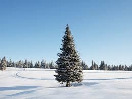 best christmas tree types u2013 real christmas tree tip